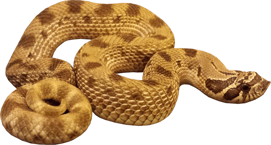 Yellow Anaconda Transparent PNG, Hunt, Hunting, Poisonous Snakes 27447