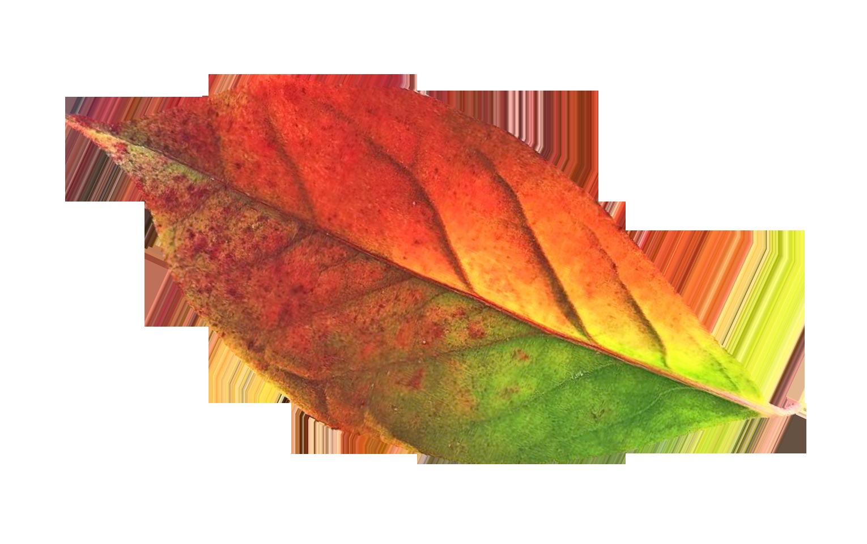 Autumn Leaf Png Transparent Picture 5887 Transparentpng