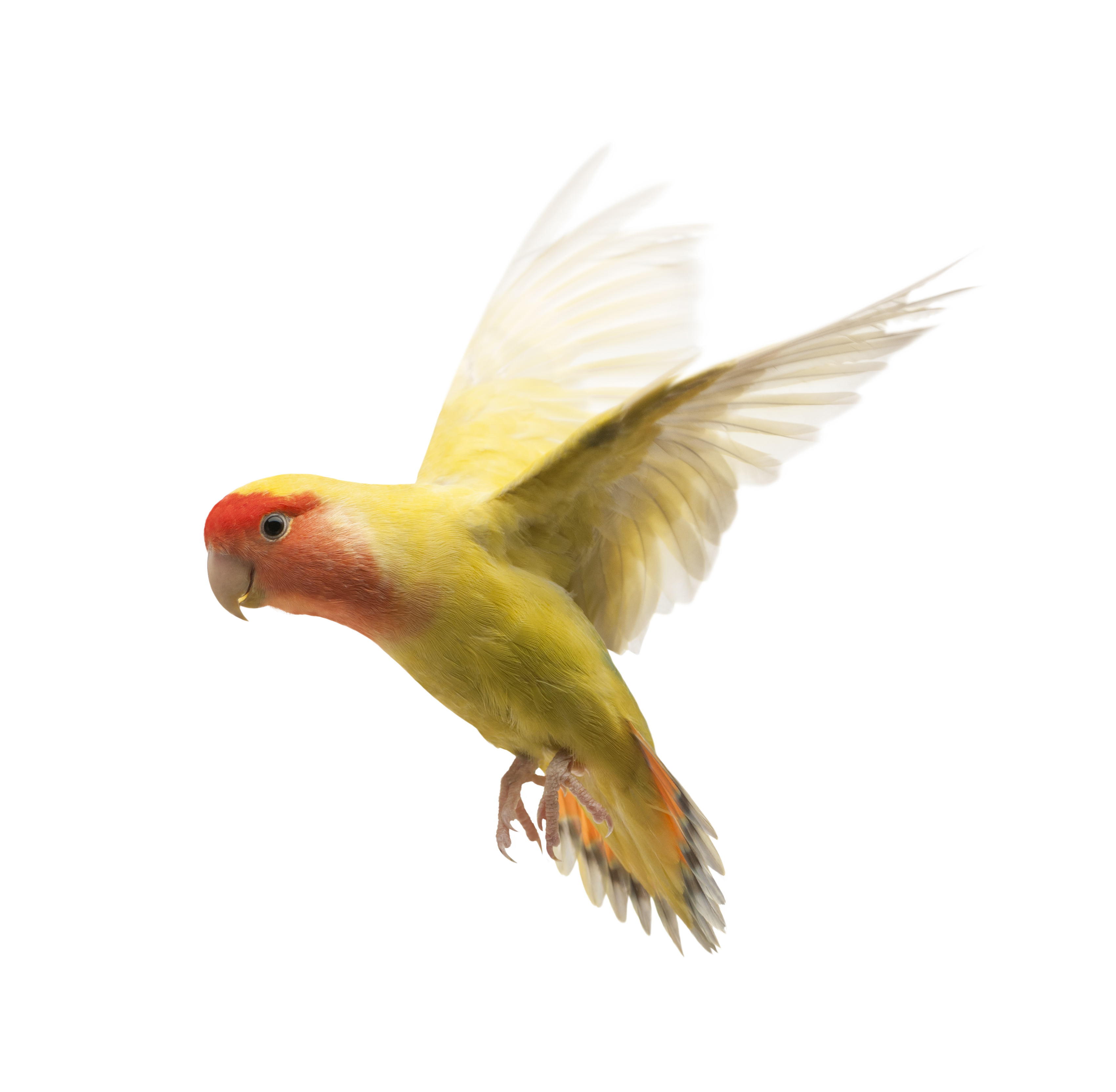 Yellow Parrot HD Png Bird, Natural, Talking, Feeding 28417