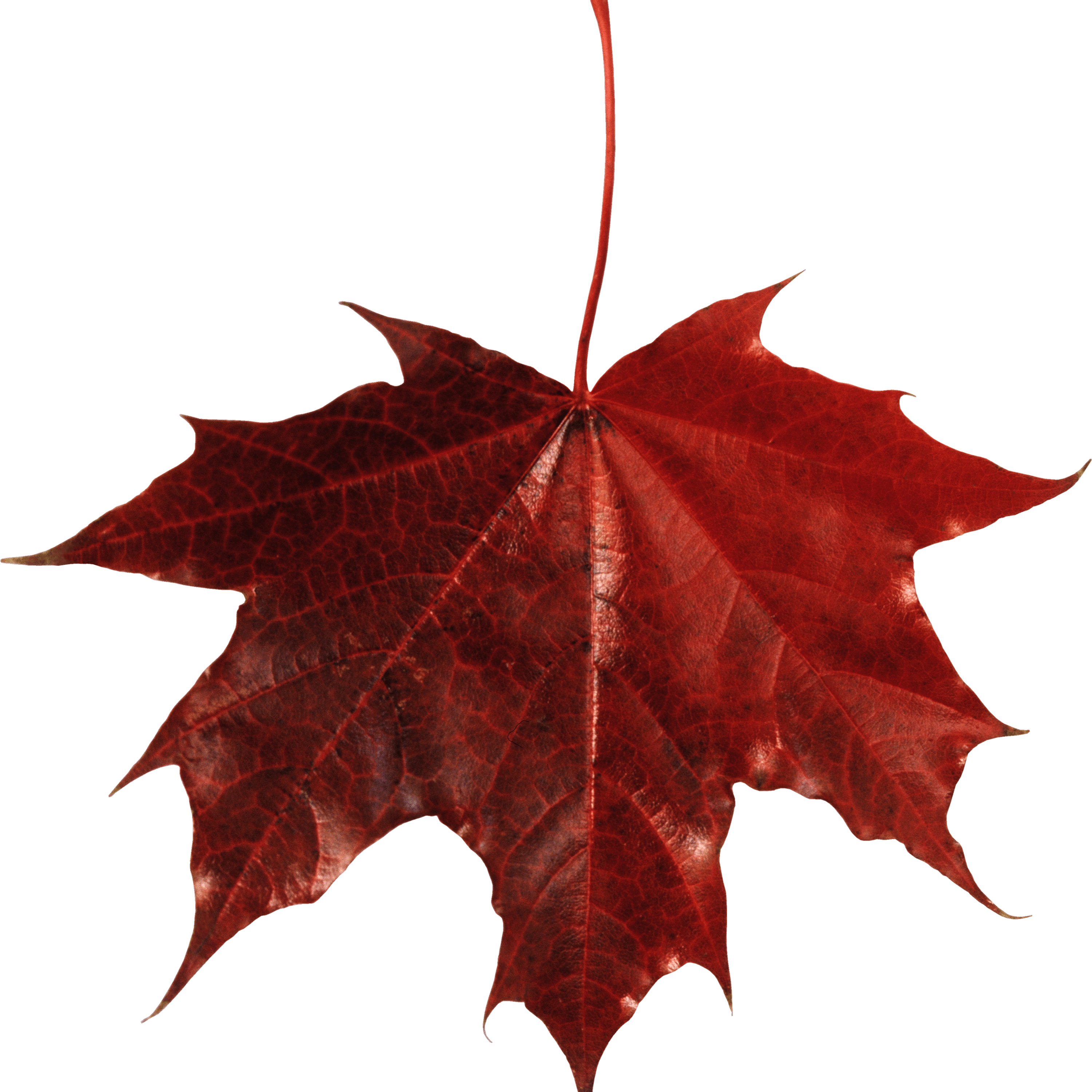 New Maple Leaf Canada Transparent