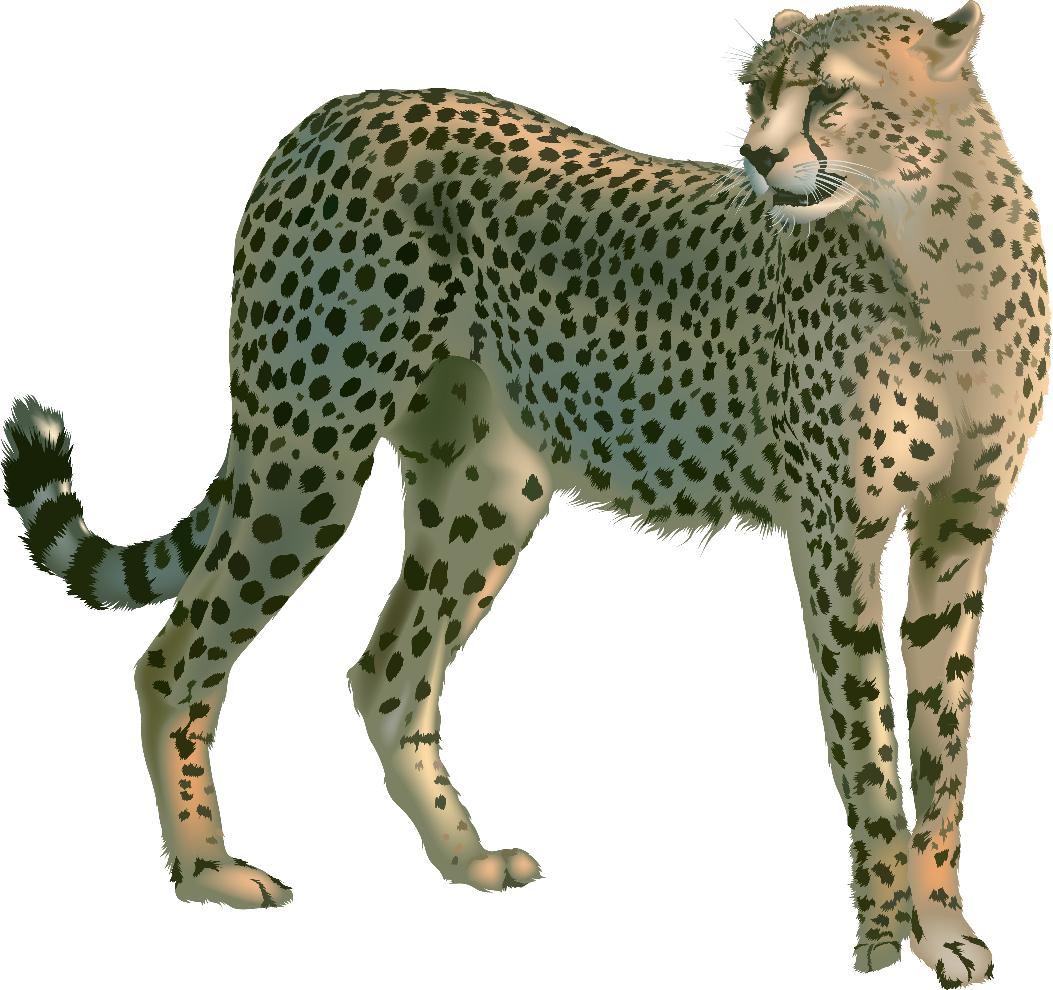 Cheetah Transparent Background PNG Images