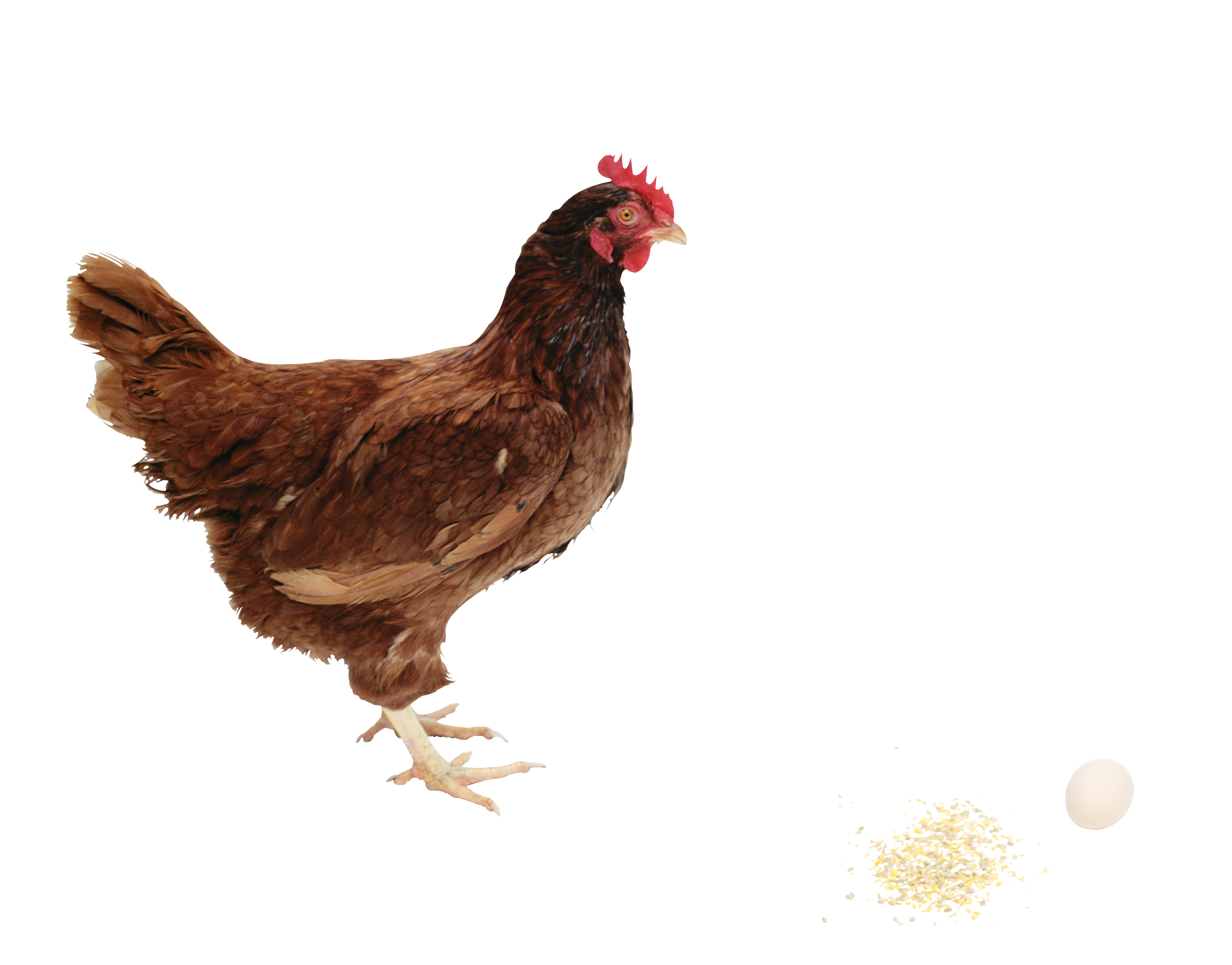Chicken Clipart HD PNG Images