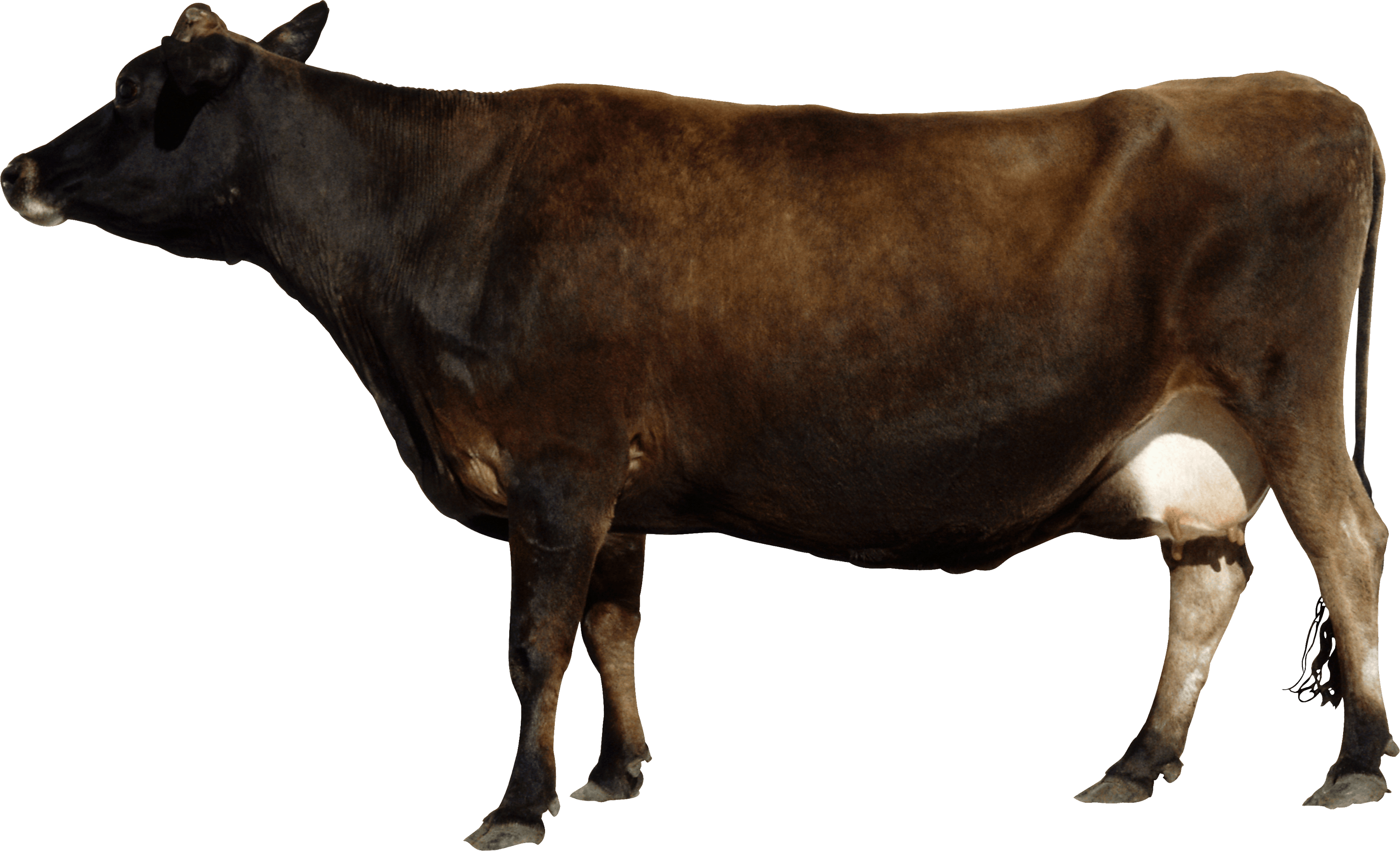 Side View Brown Cow Transparent Background Free Download