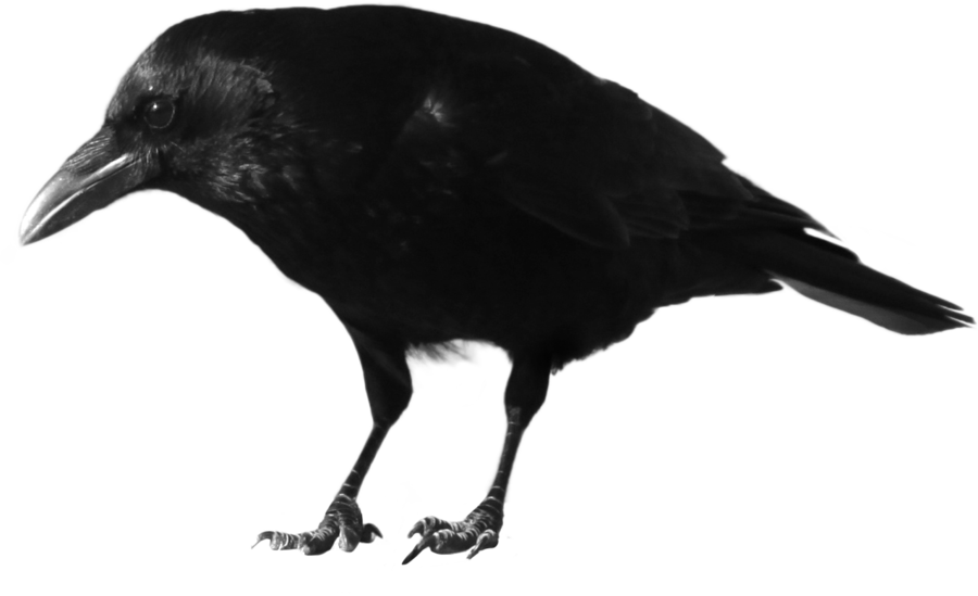 Crow High Quality PNG 20580