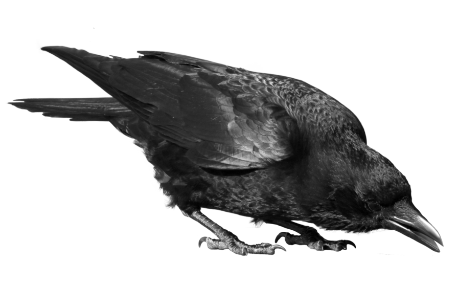 Crow Transparent Background 20574