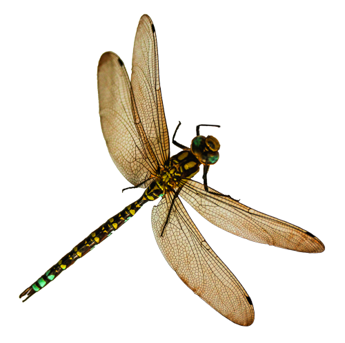 Dragonfly Tattoos File PNG Clipart 7703