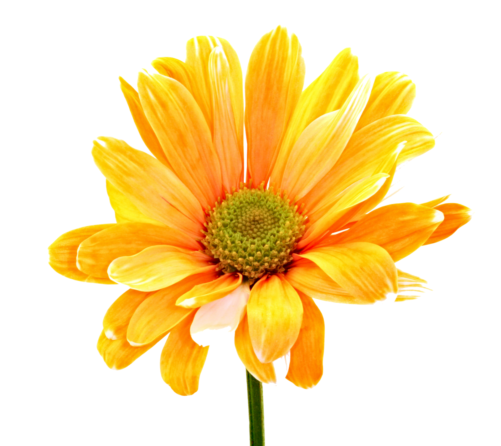 Colorful Flowers Png Orange Daisy 6484
