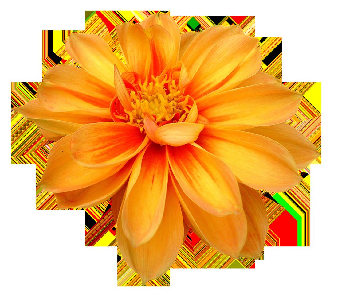Dahlia flower png orange transparent image 6470 transparentpng dahlia flower png orange transparent image 6470 izmirmasajfo