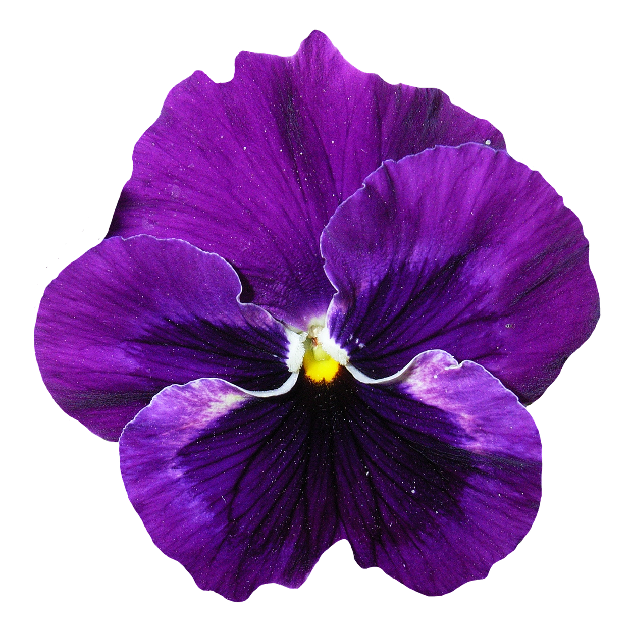 Pansy Flower Png Transparent Purple 6489