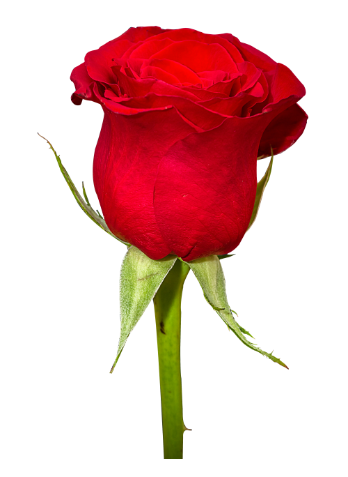 Rose Flower Png Image Photo 6480