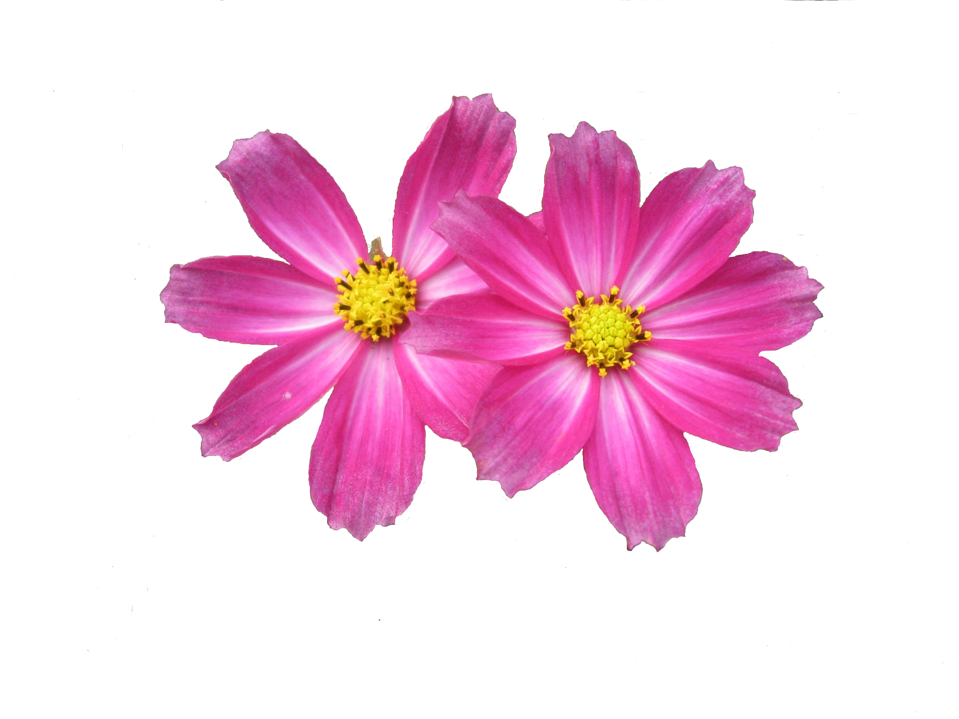 Two Pink Flower Png 6487