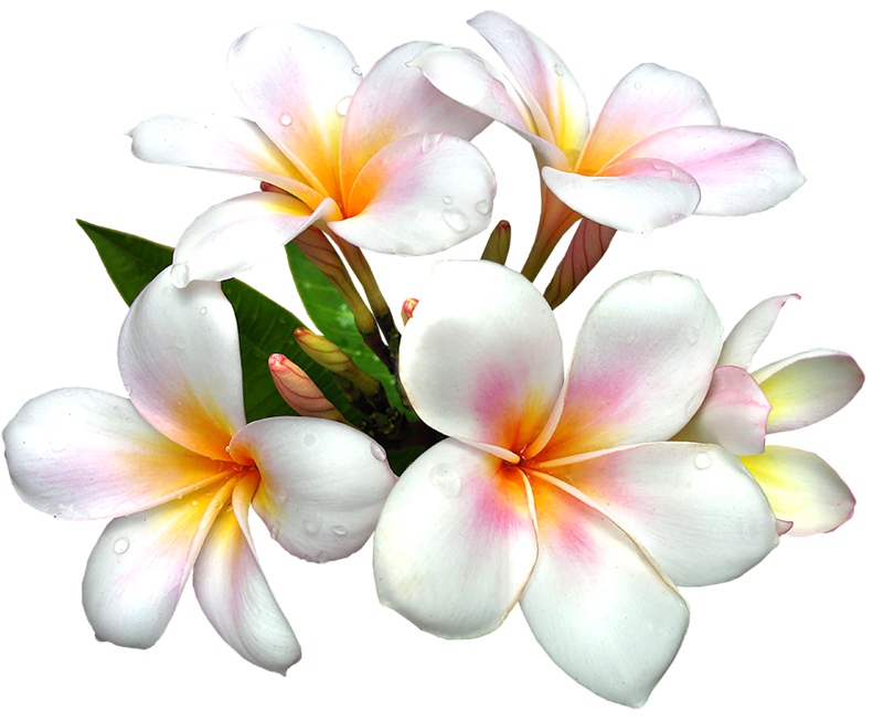 White Large Png Flower 6500