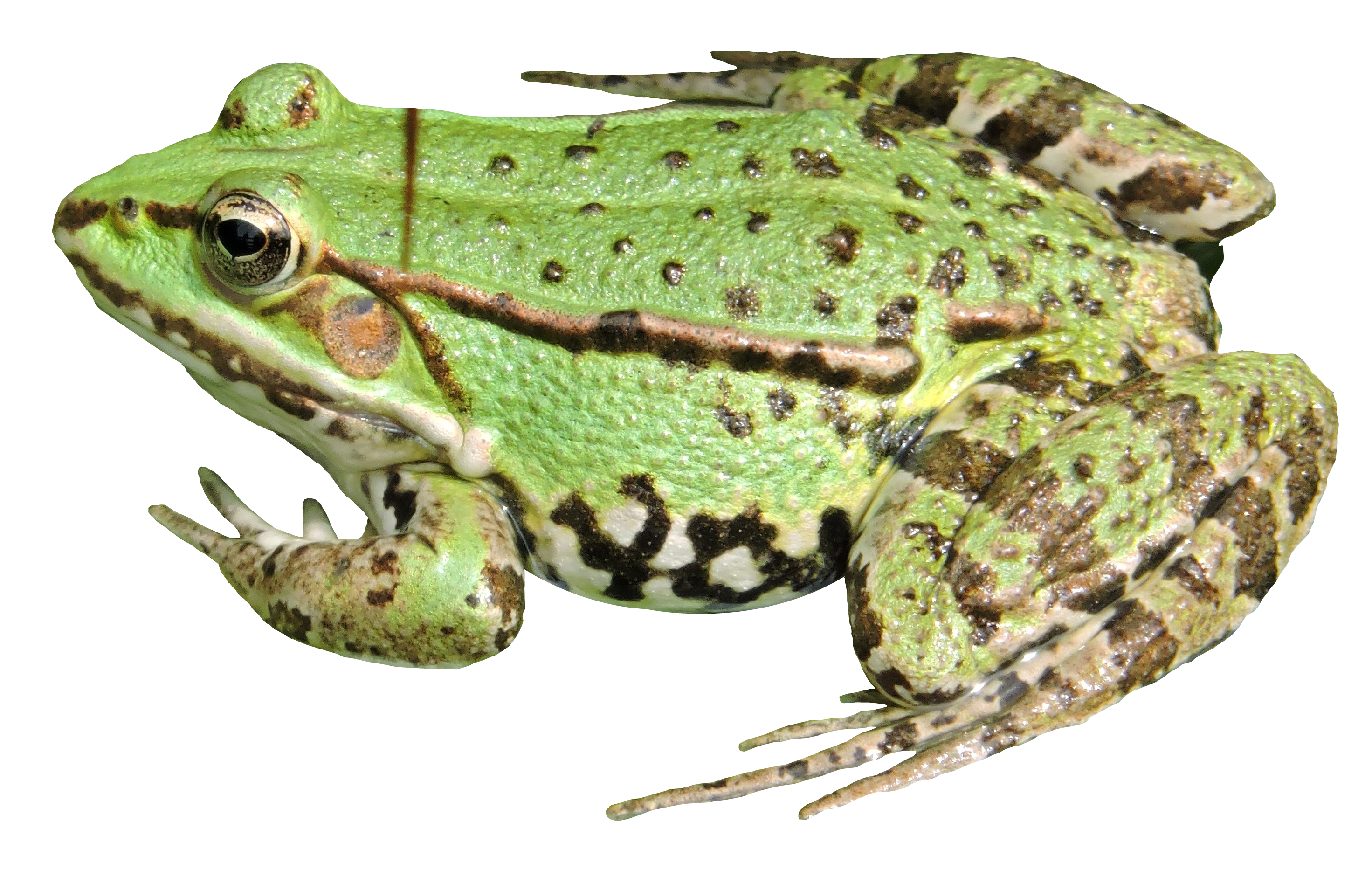 Frog Transparent Background