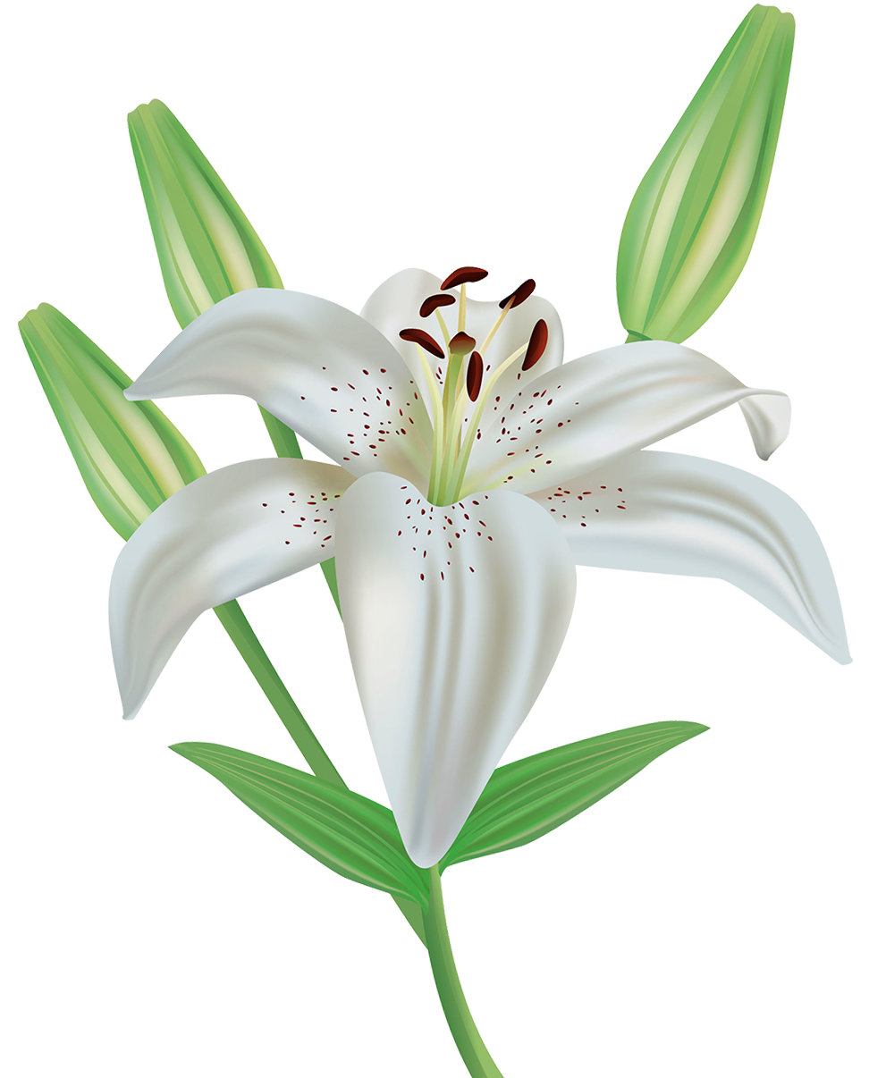 Lilies Images PNG 18553