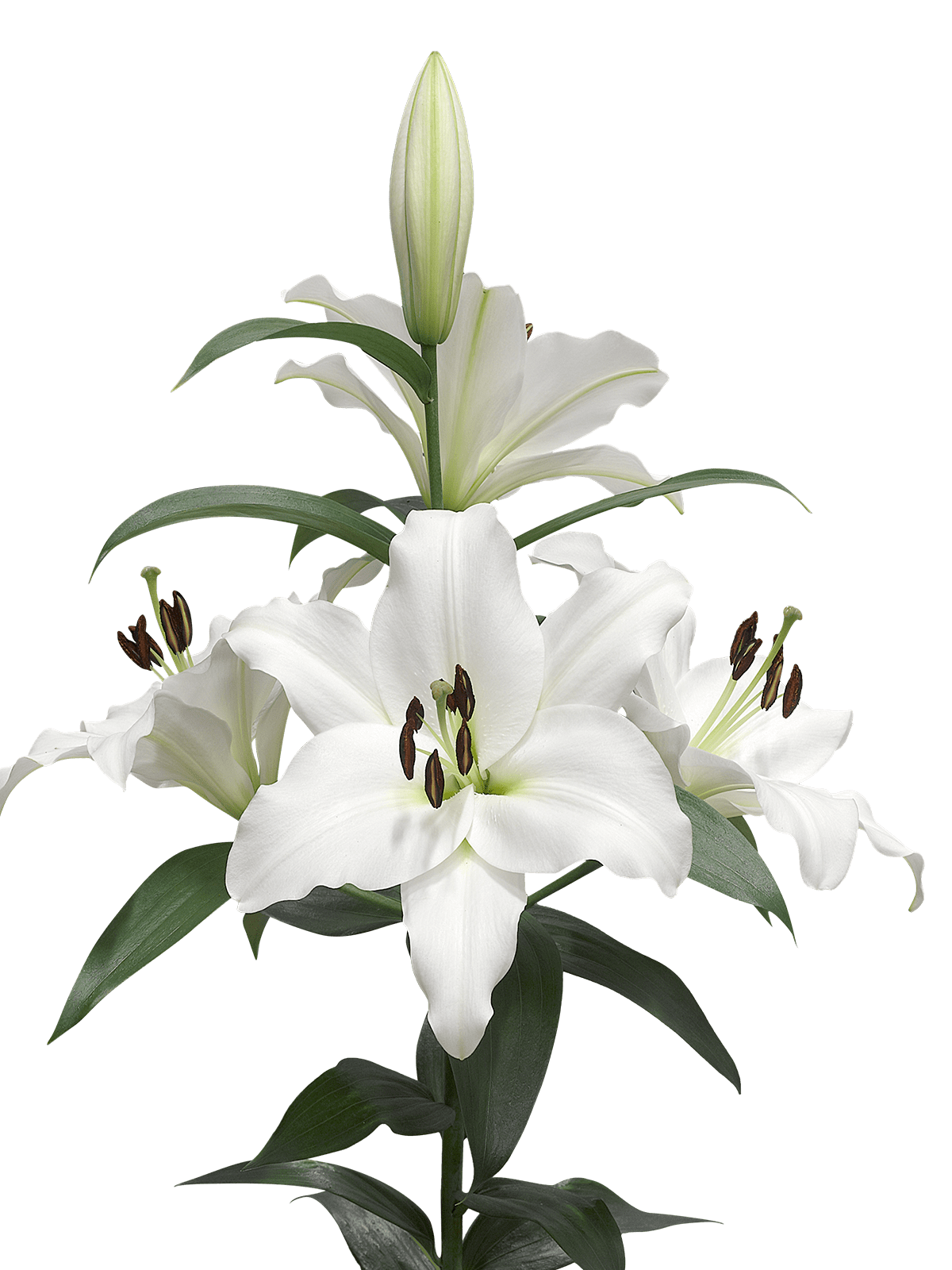 Lilies Background 18541