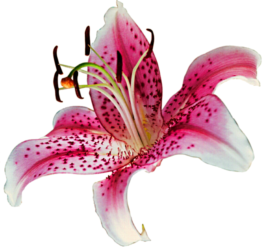 Lily flower vector 18539 transparentpng lily flower vector izmirmasajfo