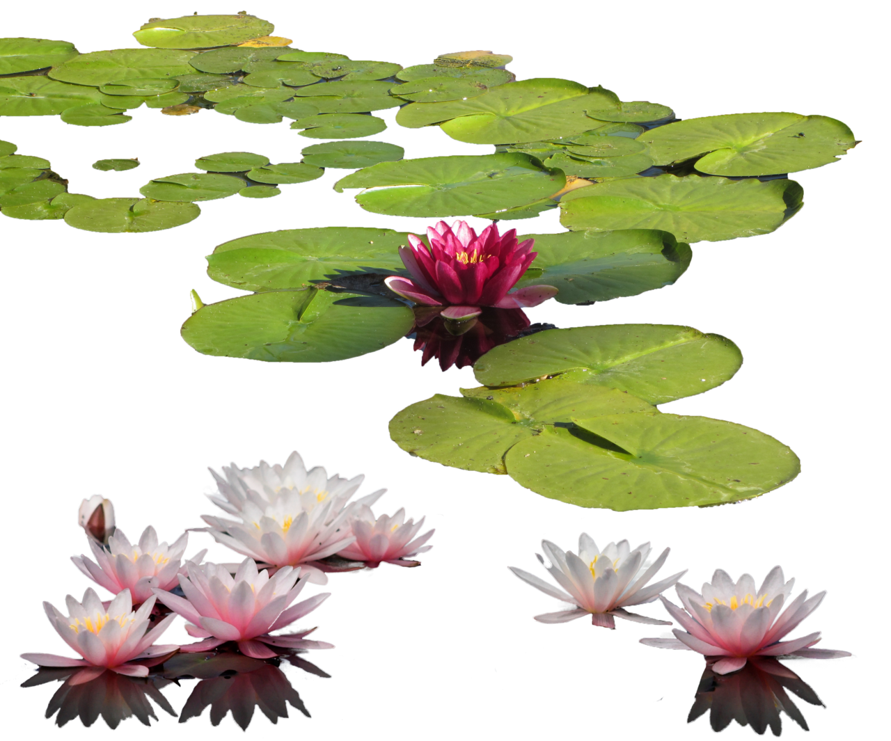 Water Lily Photos 18540