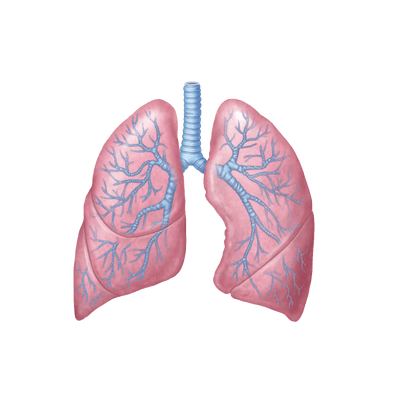 Lungs Drawing Transparent Png 3505