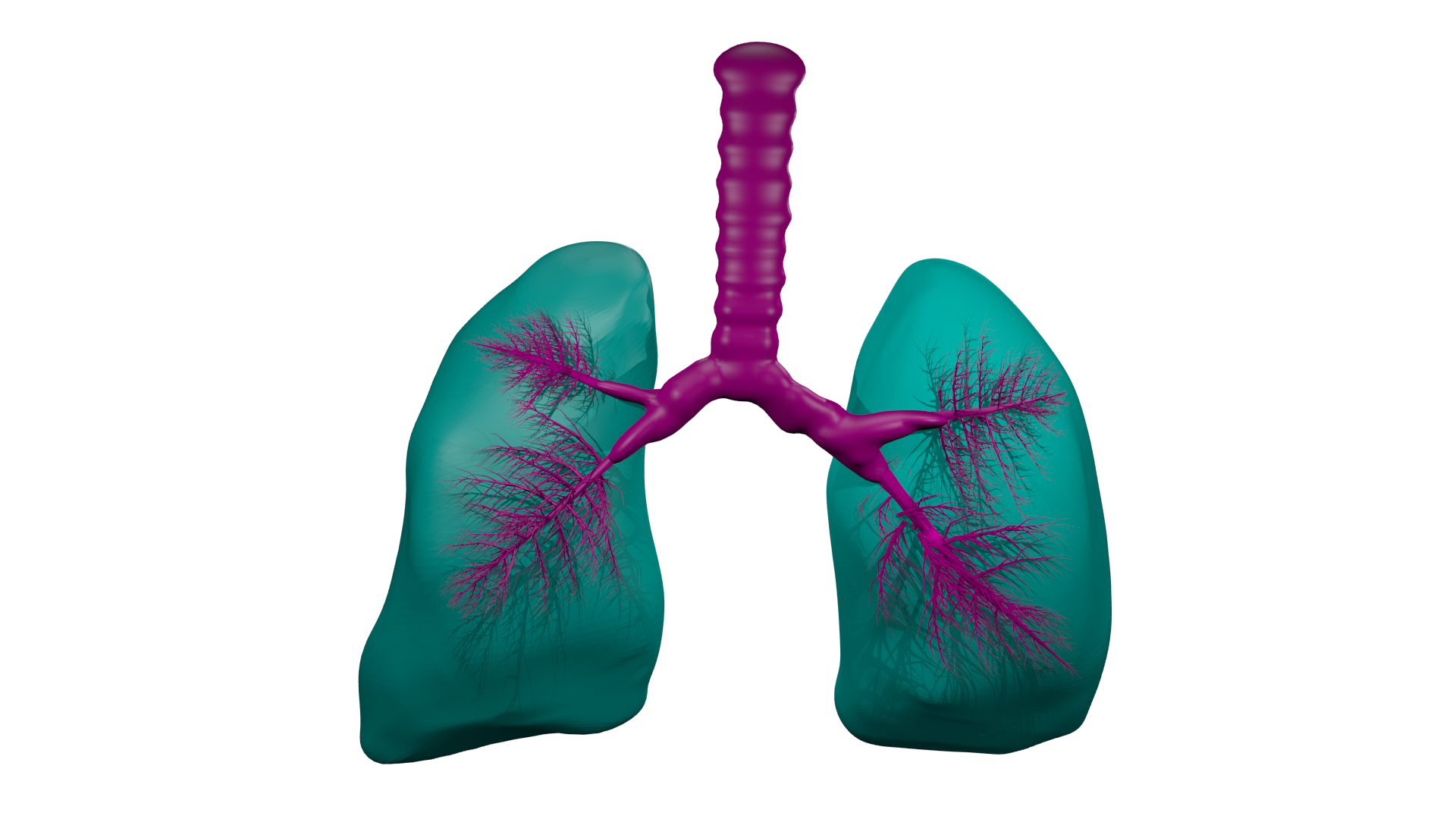 Lungs Png Pictures 3498