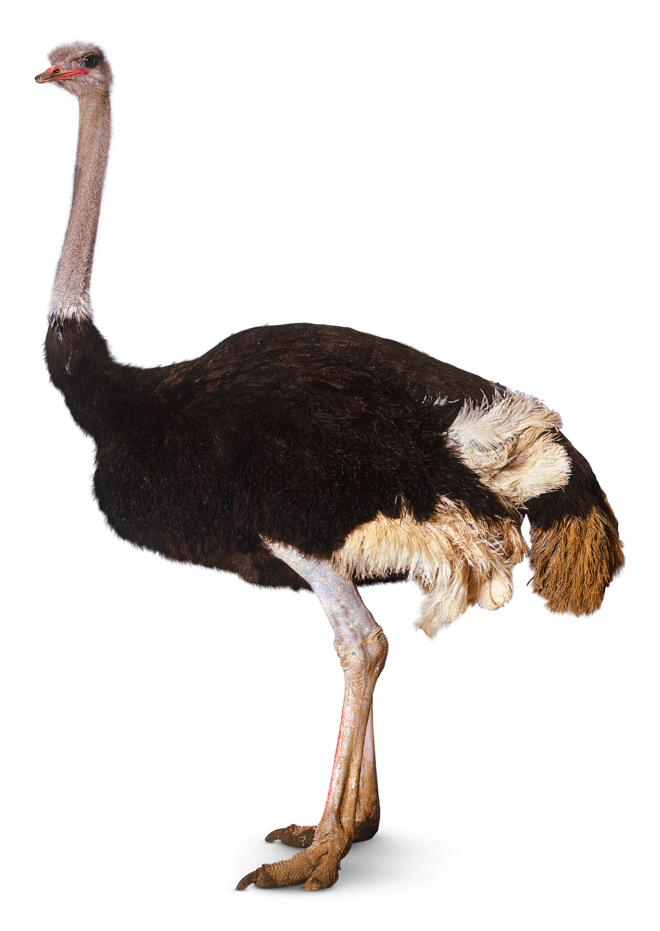 Animals, Earth, Ostrich Png 1785