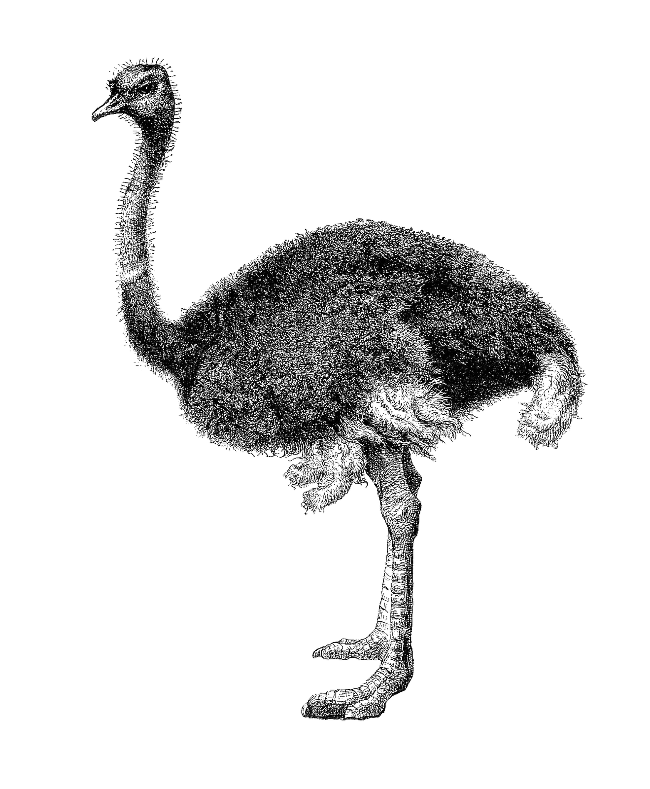 Black And White Ostrich Png 1810