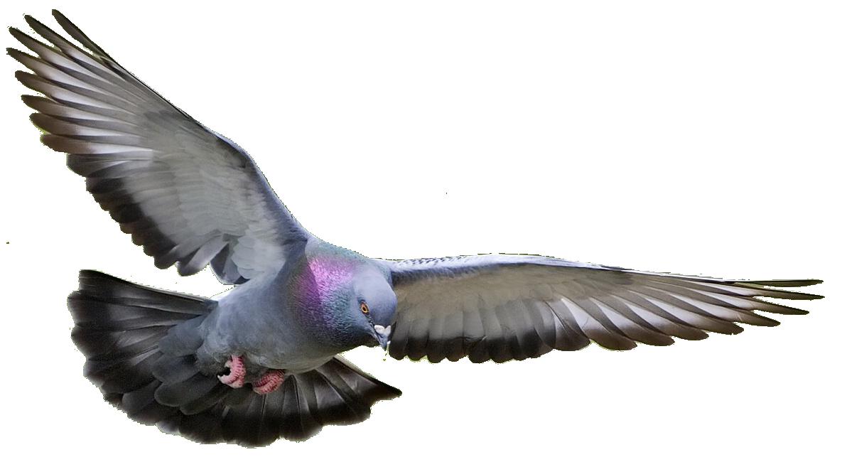 pigeon clipart photo 14391 transparentpng