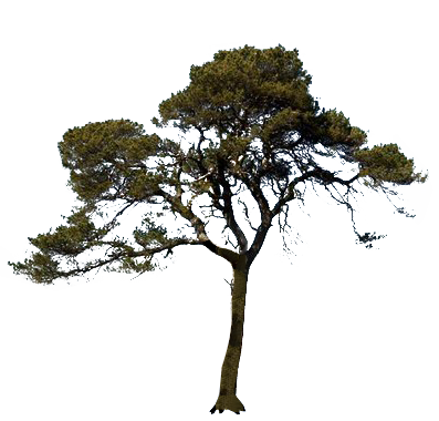 Icon Pine Tree PNG