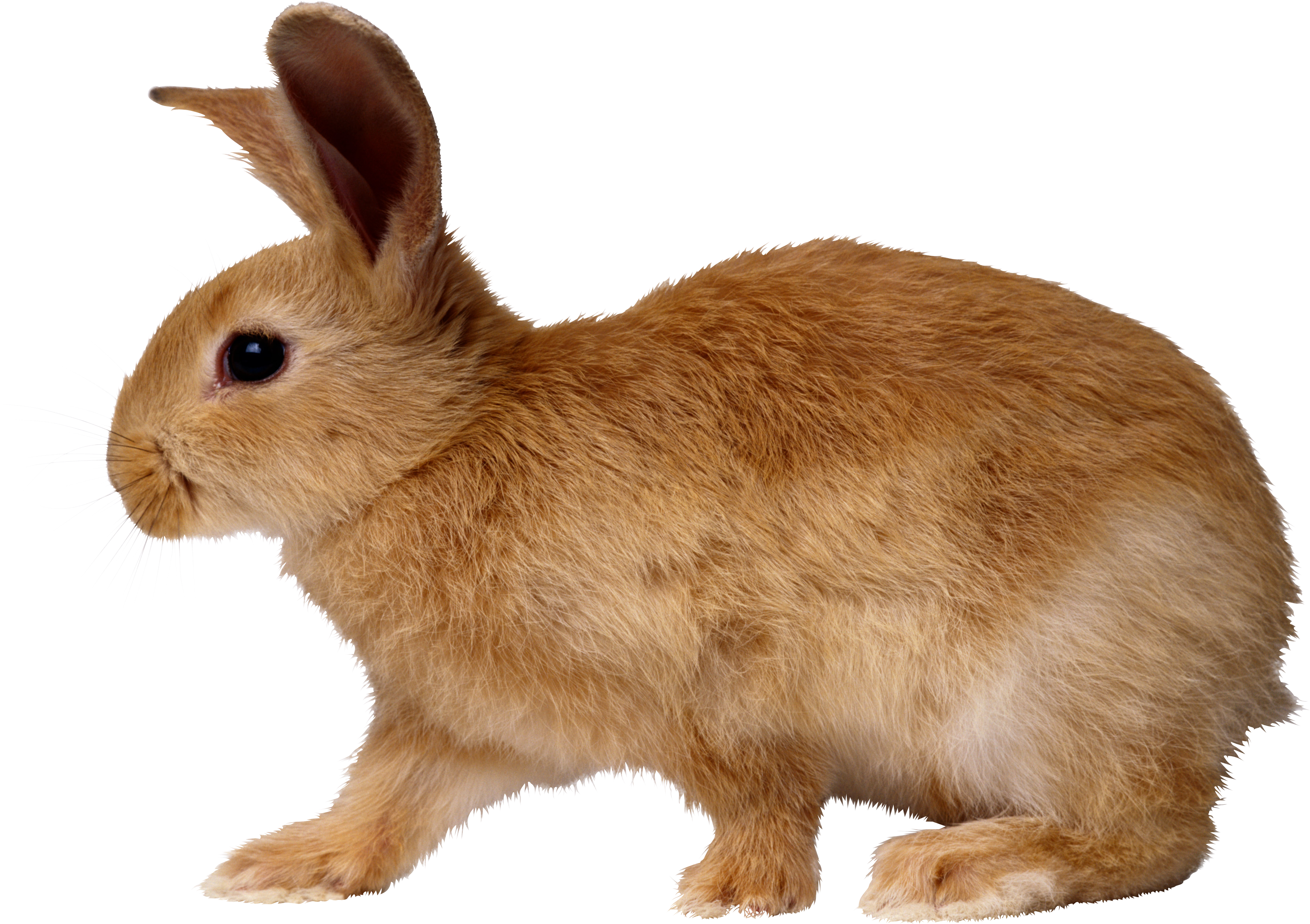 Rabbit Vector PNG Images