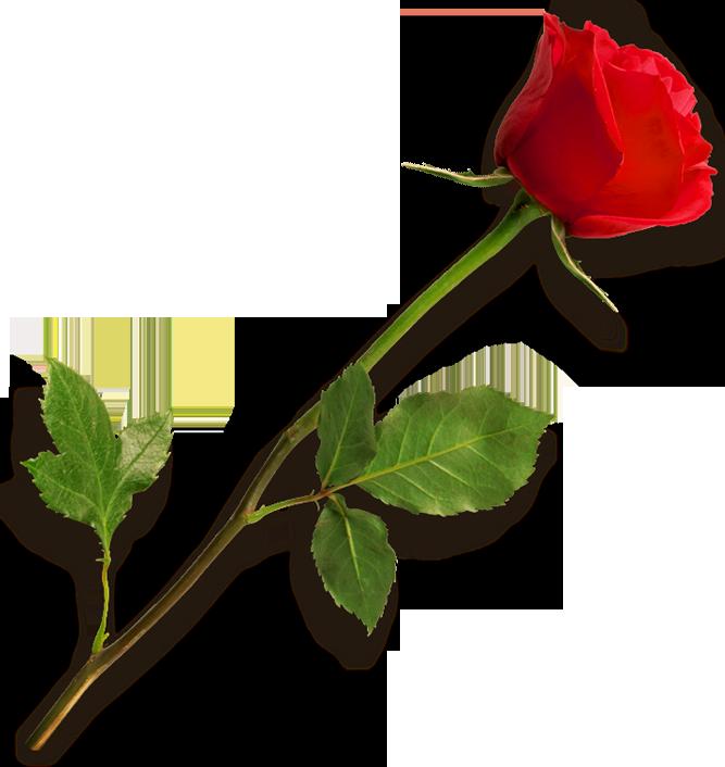 rose flowers hd photo 16228 transparentpng