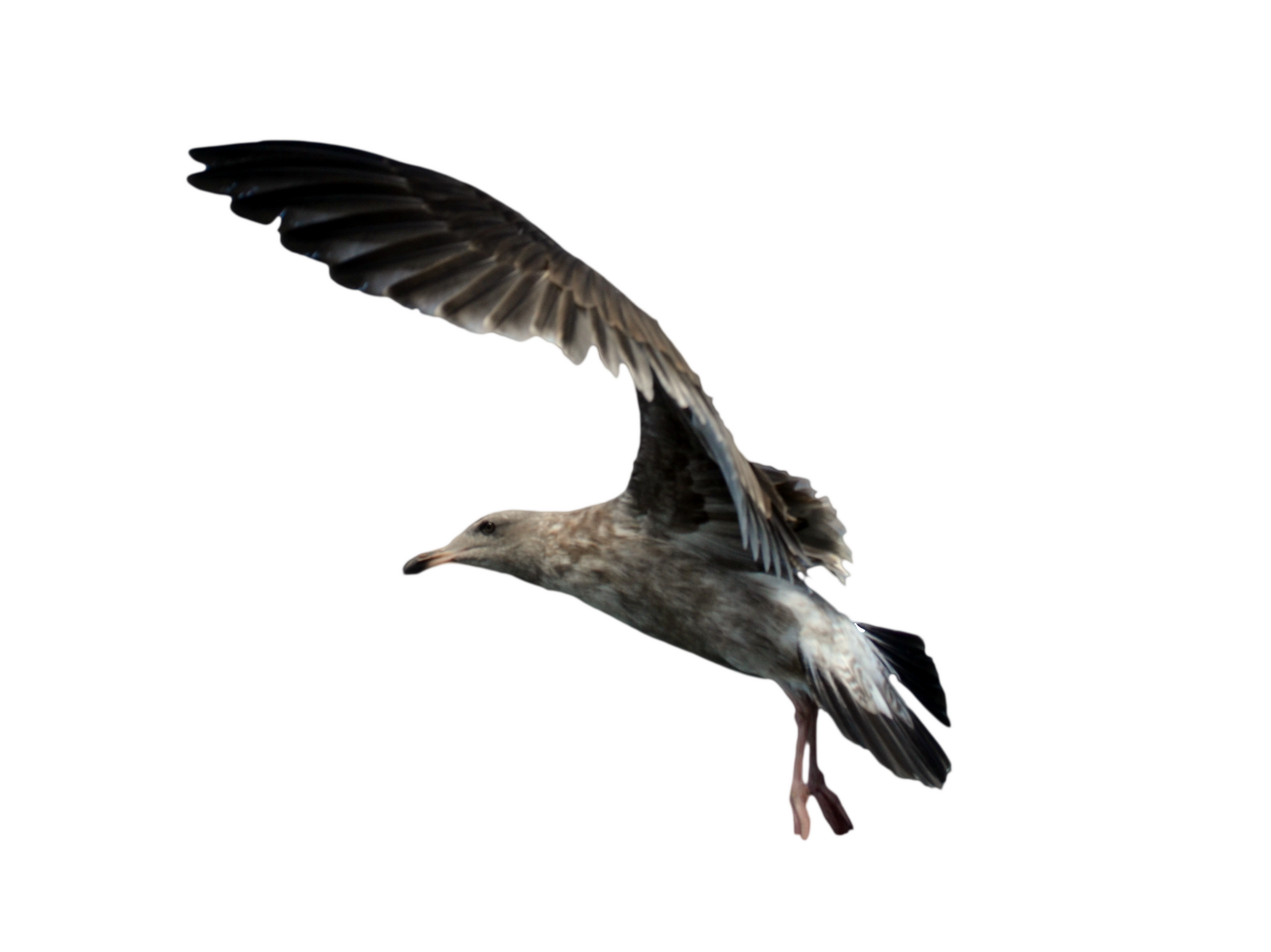 Seagull Cut Out PNG Images