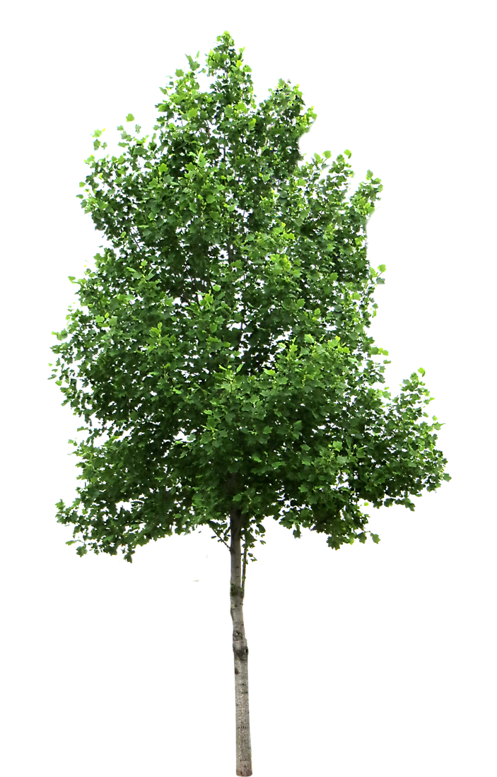 Texture Birch Tree Png 6393