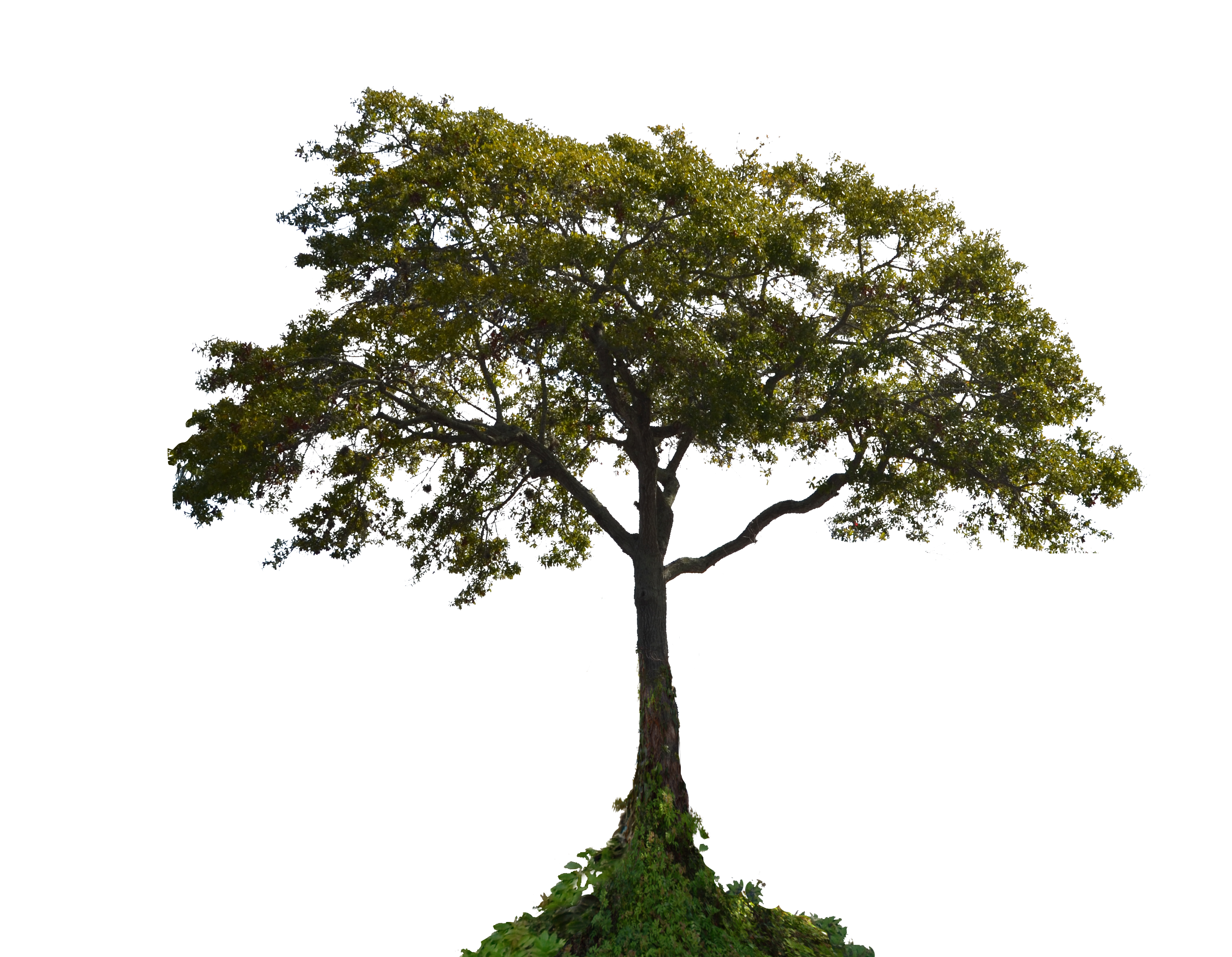 Tree Png Photo Pic