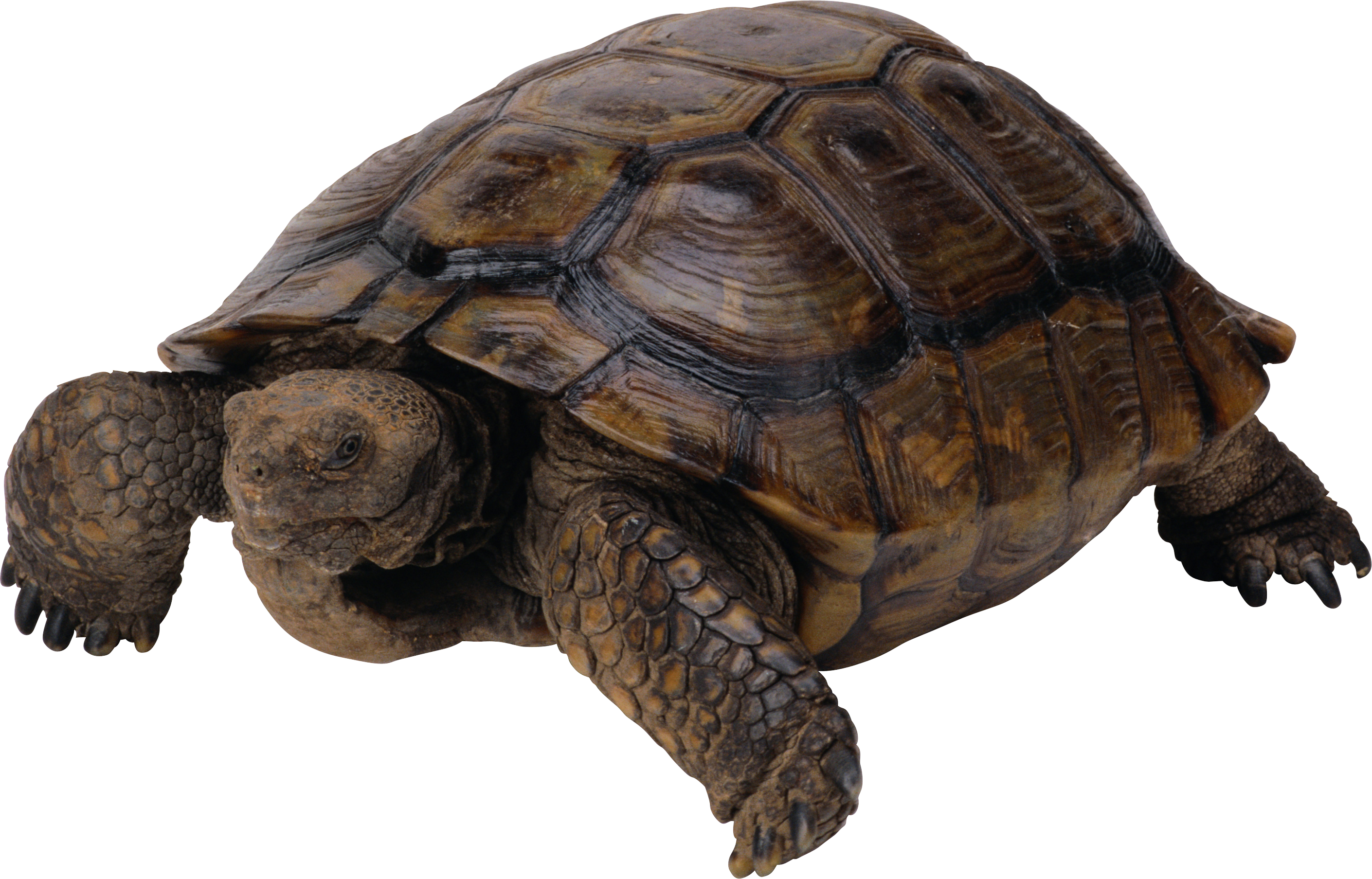 Box Turtle Free Download 16865