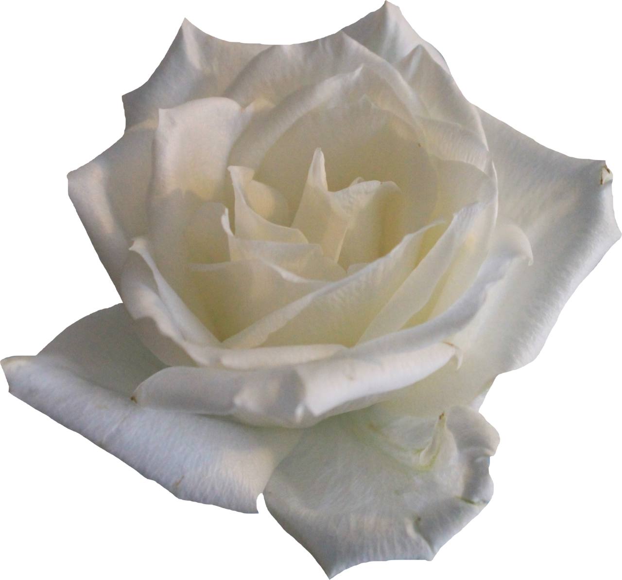 White Rose Png Picture 20081 Transparentpng