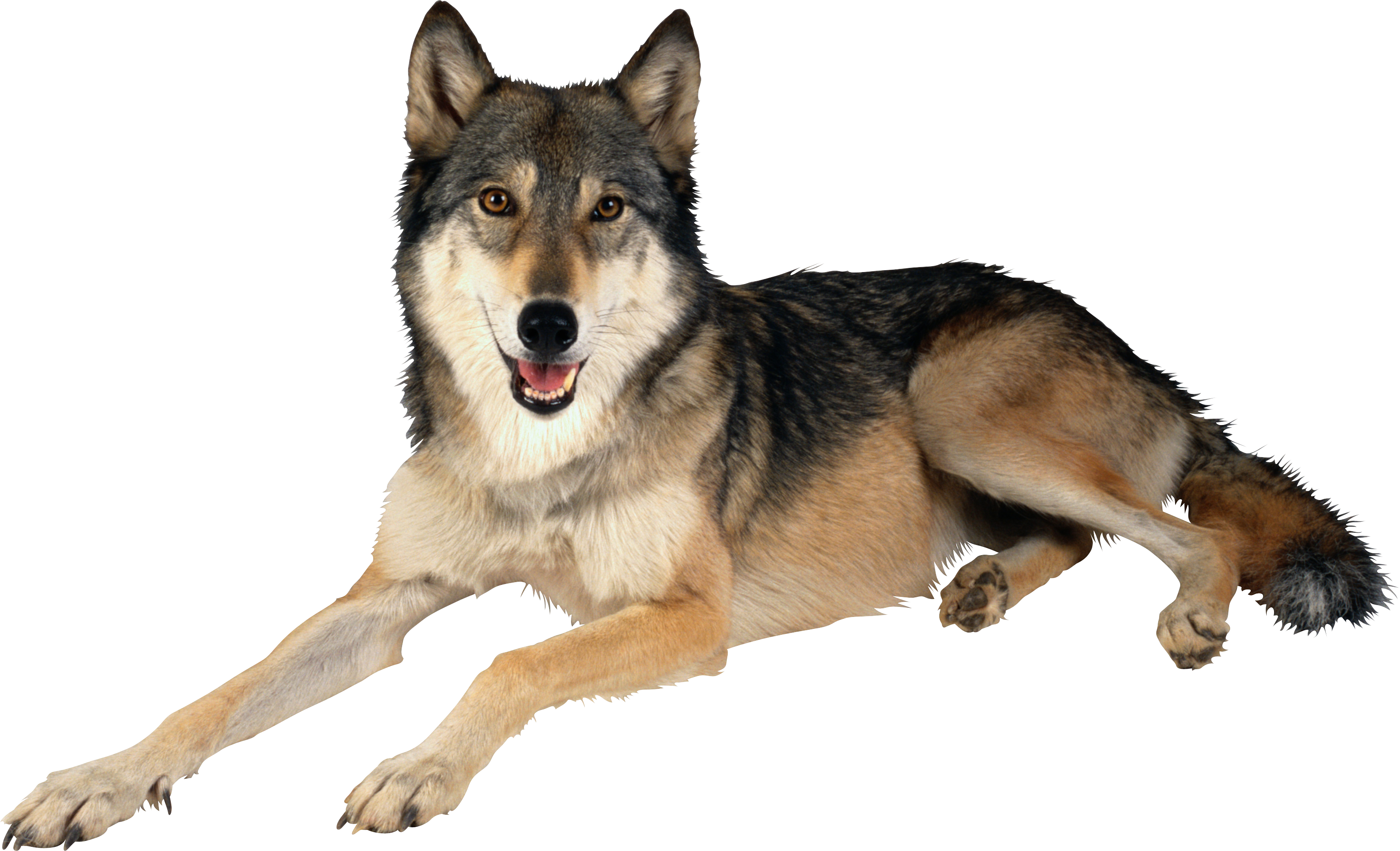 Wolf High Quality PNG PNG Images