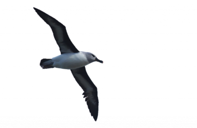 Black Wings-albatross-billed Bird Png Free Download PNG Images