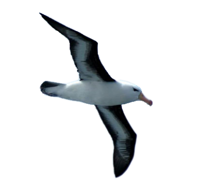 Flying Albatross Bird Picture Hd Horizontal PNG Images