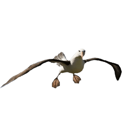 Albatross Flying Hd Download. Png PNG Images