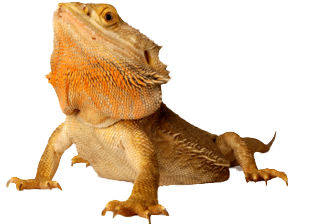 Big Orange Lizard In PNG View Amphibians Frogs, Lizards, Snakes PNG Images