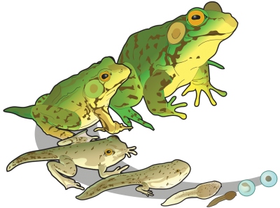 Amphibians Frogs Clipart Of Large Size And Small, Jumping Frogs Baby PNG Images