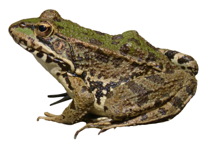 PNG Green Image Patterned Frog, Amphibian, Tailless Frog, Anura, Frogs Double Lives PNG Images