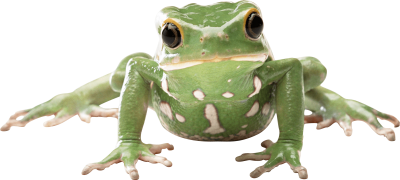 Flat Amphibian Frog With His Hands Photo Open Look Dowland Transparent, Green Frog