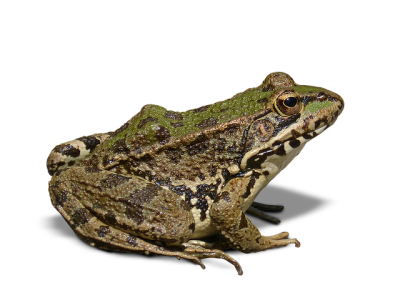 Green Embroidery PNG Patterned Amphibian, Frog, Frogs, Vertebrates, Breeding, Reproduction PNG Images