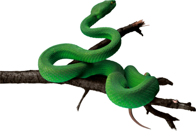Tree Branch Wrapped Green Anaconda Photo