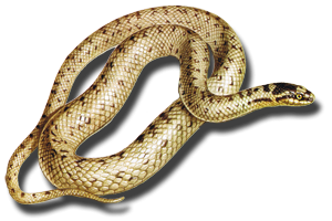 Background Colors Are White And Yellow Anacondas, Marsh Snake, Bull Snake PNG PNG Images