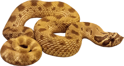 Yellow Anaconda Transparent PNG, Hunt, Hunting, Poisonous Snakes PNG Images