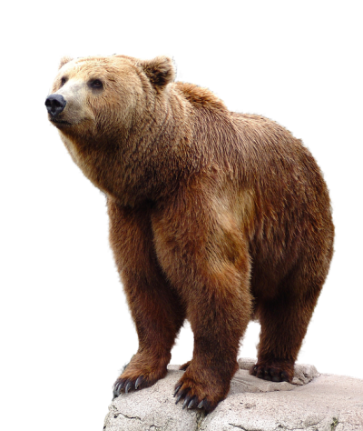 Wild Brown Bear Animal HD Png Background
