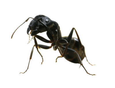 Hd Dark-colored Ants, Insects, Organisms, Ants PNG Images
