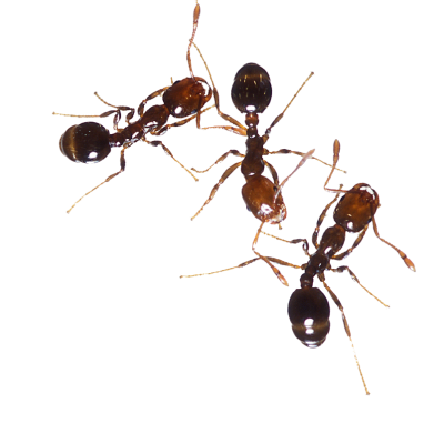 Three Fire Ants, Burn, Anomma Image PNG Images
