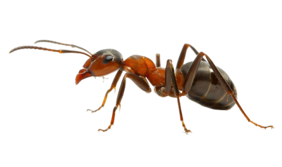 Orange Ants , Reptiles, PNG PNG Images